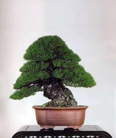 Juniper and Pine in between - 柏松之間