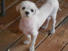 Armani is an adoptable Maltese Dog in Matthews, NC. This is Armani today but when this sweet thing arrived in rescue last month, he was unrecognizeable as any particular breed of a dog, he was matted ...