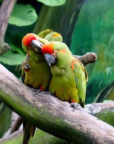 Red-fronted Macaw -Some of the largest of all parrots (hyacinth is biggest) -curved beaks aid in cracking nuts/climbing -zygodactyl feet -no sexual dimorphism -travel in flocks -19 species of macaw, 13 are threatened