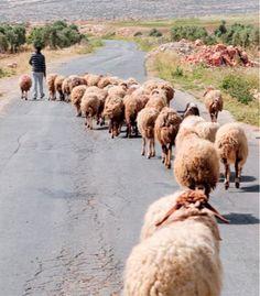 Sheep Behaving Sheepishly.  Dan Lewis' fascinating trivia book