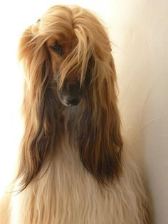 golden afghan hound colour deffinition - Google Search