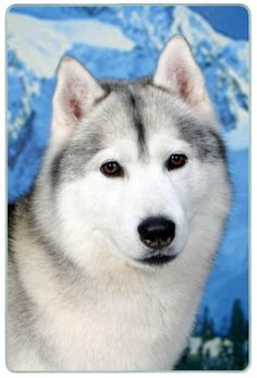 Siberian Husky Cutting Board - Small Canine Designs,http://www.amazon.com/dp/B003MZYB14/ref=cm_sw_r_pi_dp_sgezsb0ZQMGHGF0T
