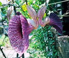 Another strange flower from other planet. Esta planta se llama Aristoloquia Gigantum también conocida como Pipa del Holandés, Candiles y Candilejos