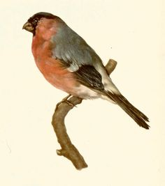 VINTAGE BIRD PRINT Bullfinch Bird Illustration by UpcycleFarmer - Use coupon code PINTEREST to save 10% off of your purchase!
