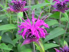 Monarda Didyma Seeds Annual Herb Seeds 40 Seeds by Herb Seeds, Herbs, Unique Jewelry, Handmade Gifts, Plants, Vintage, Etsy, Kid Craft Gifts, Craft Gifts