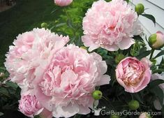 If peony flowers are left unsupported, they will fall over. Learn about peony supports, how to keep peonies from drooping, and other peony care tips. Hydrangea Landscaping, Witch Garden, Planting Peonies, Pink Hydrangea, Peony Care, Peony Support, Beautiful Flowers, Peonies Garden, Garden Planning