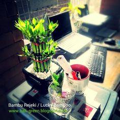 Lucky Bamboo For Sale at Denpasar Bali  Putra Garden +6281239611122