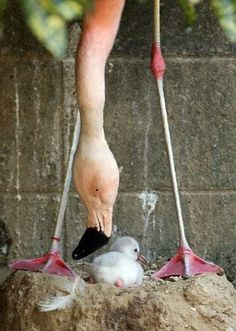 A four-day-old Chilean flamingo chick looks on its nest as its father named Migi Aka seen at the Himeji Central Park, Oct. 2, 2013 in Himeji, Japan. The baby flamingo was born on September 29 and will take up to two or three years to fully develop the pink feathers of mature adults.