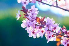 Hanami se conoce a la tradición japonesa de observar la belleza de las flores. El 28 de marzo se celebra con la floración de los cerezos.