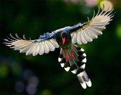 FORMOSAN BLUE MAGPIE (Urocissa caerulea) - The Formosan Blue Magpie, also called the Taiwan Magpie, or the long-tailed mountain lady, is a member of the Crow family. It is an endemic species living in the mountains of Taiwan at elevations of 300 to 1200m.