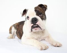 Meet Henry *Special Needs* D141491: PENDING ADOPTION, an adoptable English Bulldog looking for a forever home. If you're…