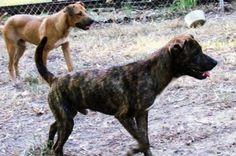 brindle rhodesian ridgeback puppies for sale