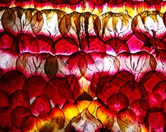 Julia Goodman is an artist.  She works mainly with paper, but some of her recent work focused on beets.  Using paper making techniques, a toaster over, a mandoline, and beets she grew herself she has created some very alluring, light, stained glass-like pieces