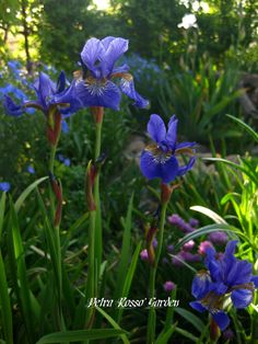 Petra Rosso' Garden. Blue & purple flower bed. Spring