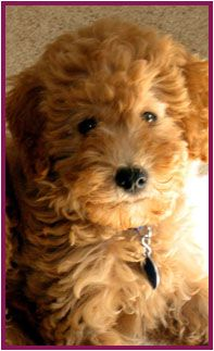 Whoodle Puppies. So adorable! Wheaten terrier poodle mix...