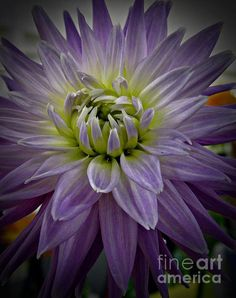 Purple Dahlia Photograph by Chalet Roome-Rigdon - Purple Dahlia Fine Art Prints and Posters for Sale fineartamerica.com