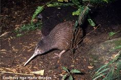 The kiwi has many adaptations that help aid its survival.
