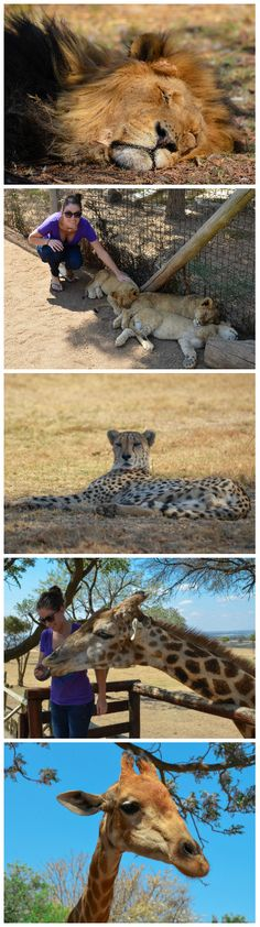 Play with Lions, Giraffes, Cheetahs, and more at Lion Park in Johannesburg, South Africa.