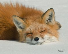 Sleeping Fox by *krankeloon:)