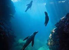 Image result for seals swimming under water