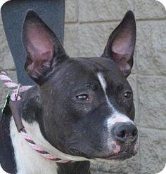 Jefferson, LA - Pit Bull Terrier Mix. Meet Veda, a dog for adoption. http://www.adoptapet.com/pet/12055026-jefferson-louisiana-pit-bull-terrier-mix