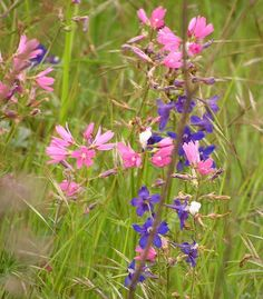 Wild Hollyhock (Sidalcea virgata) and Western Larkspur (Delphinium menziesii)
