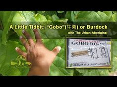 Gobo (牛蒡) or Burdock root is often eaten in East Asia specifically Japan. Articum lappa (the Latiin name) or burdock is a very common easy to idendify bienni. Aboriginal Food, Dragon Star, Urban