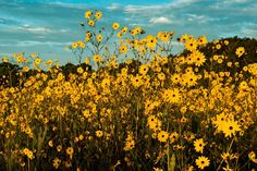 You've never seen anything like this beautiful sea of yellow blooms at this preserve.