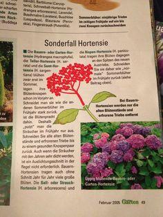 Hortensie
