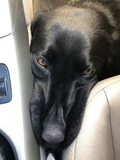 Baldwin practicing being on the floor in the car. Smoosh face