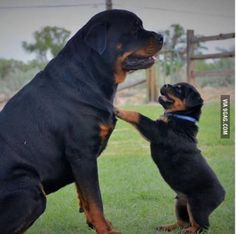 Rottweiler puppies sure are cute! These loving and loyal goofballs can make great pets. Thinking about bringing a Rottweiler puppy into your home? Here are a few things to know about these pups before you adopt. Rottweiler Love, Rottweiler Puppies, German Rottweiler, Beagle, Rottweiler Names, Cute Puppies, Cute Dogs, Dogs And Puppies, Doggies