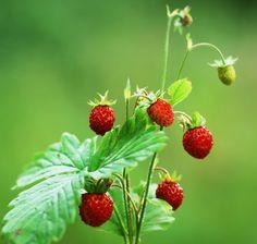 wilde Erdbeere Inhaltsstoff, wilde Erdbeere Parfums und ätherische Öle Fragaria vesca (Rosaceae)