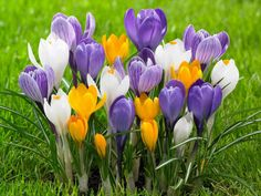How to Grow and Care for Crocus: Growing Crocus in the home garden is easy if you know when to plant it. The Crocus bulbs should be in the ground before the first frost...
