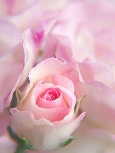 Rose by tanakawho, via Flickr