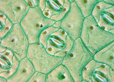 Spiderwort Leaf
