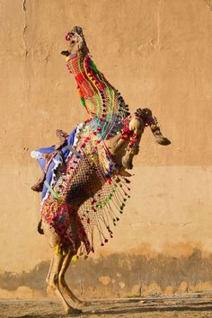 Beautifully decorated Camel stallion Gajraj reaching almost the first floor while rearing during his Camel-dance performance in India (Photo: Christiane Slawik)