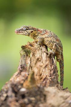 "creatures-alive: "" (via 500px / Gargoyle Gecko by Milan Zygmunt) """
