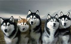 Oh my, imagine this many Lucky's at once! so pretty! Siberian Husky