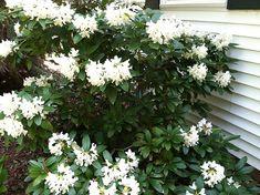 rhododendruns