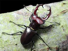 Giant Stag Beetle, Lucanus elaphus: Ouch!