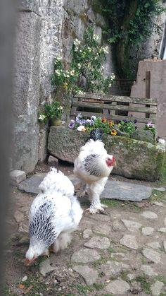 casal de galinhas brahma light