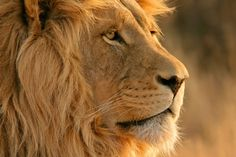 All information about lion. Pictures of lion. Lion images and many more. Lion Hd Wallpaper, Animal Wallpaper, Apple Wallpaper, Nature Wallpaper, Lion Images, Lion Pictures, Apple Mac, Animals Tumblr, Backgrounds Hd