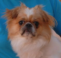 Malachi is friendly and full of personality and debuting for adoption today at Nevada SPCA (www.nevadaspca.org).  He is a young Japanese Chin & Pekingese mix, 1 year of age, good with other dogs and now neutered.  Malachi was found on the Vegas streets with no sign of responsible ownership (no ID tag, no microchip ID, not neutered).  He is ready to become a valued, lifelong member of a loving home.