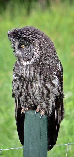 Grey Owl on Fence Post HWY 762