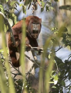 Bigfoot | Reference | Red Howler Monkey