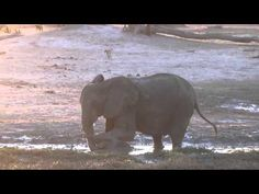 This adorable baby elephant didn't want to finish bath time. - YouTube