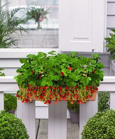 Patio Planter with 8 Strawberry Plants product photo