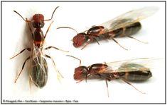 Camponotus truncas reine
