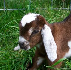 nubian goat kids | 2005 Mini-Nubian Goat Kids