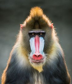 Mandrills are the world's largest non-ape primates. A fascinating aspect of their extreme sexual dimorphism that sets them apart from other monkeys is their immense size. While female mandrills weigh in at around 27 pounds on average, adult male mandrills can weigh up to 82 pounds!